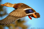 Title: Duck in fly