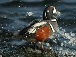 Title: Harlequin Duck