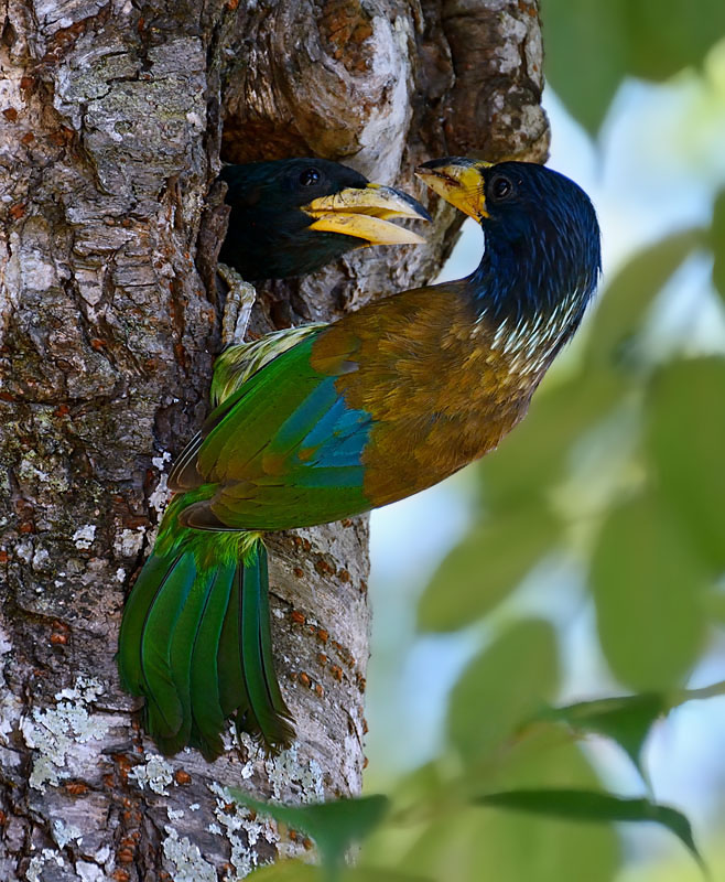 Great Barbets