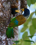 Title: Great Barbets