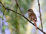 Title: Brown Shrike