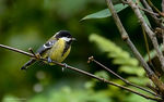 Title: Green-backed tit?