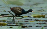 Title: Young Jacana