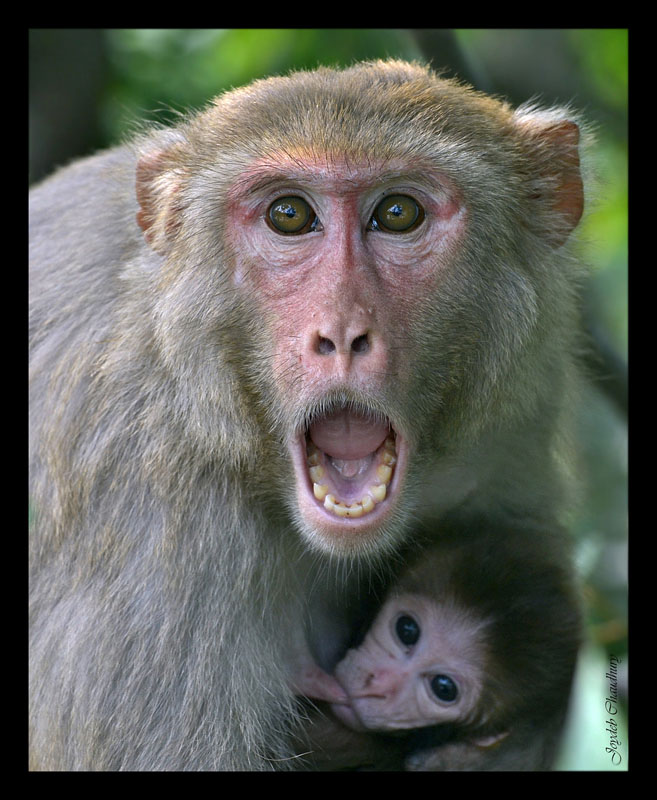 Macaque mother