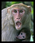 Title: Macaque mother