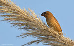 Title: Spotted Munia