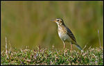 Title: Paddy field Pipit