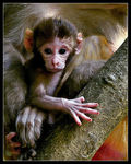 Title: Rhesus macaque