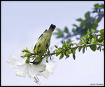 Title: Young Sunbird(female)