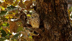Title: Owlet At Ranthambore