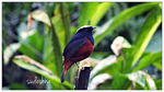 Title: white capped red start