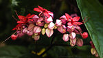 Title: Clerodendron thomsonae
