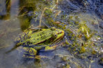 Title: Common water frog