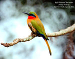 Title: Bee-Eater in Uganda