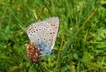 Title: Lycaena alciphron