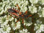Title: Rhynocoris punctiventris