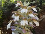 Title: Acanthus spinosus