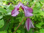 Title: Clematis viticella