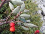 Title: Cotoneaster tomentosus