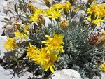 Title: Crepis bithynica