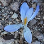 Title: Crocus cancellatus damascenus