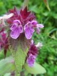 Title: Stachys tymphaea