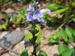 Title: Veronica officinalis