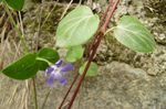 Title: Vinca major hirsuta