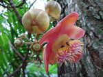 Title: Cannonball Tree with bees