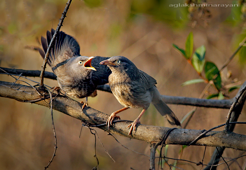 Jungle babbler chick begs for food.