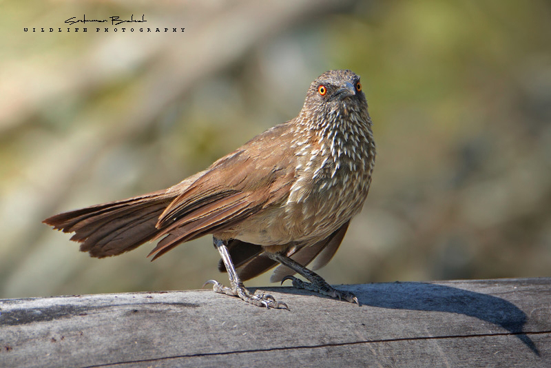 Arrow - Marked Babbler