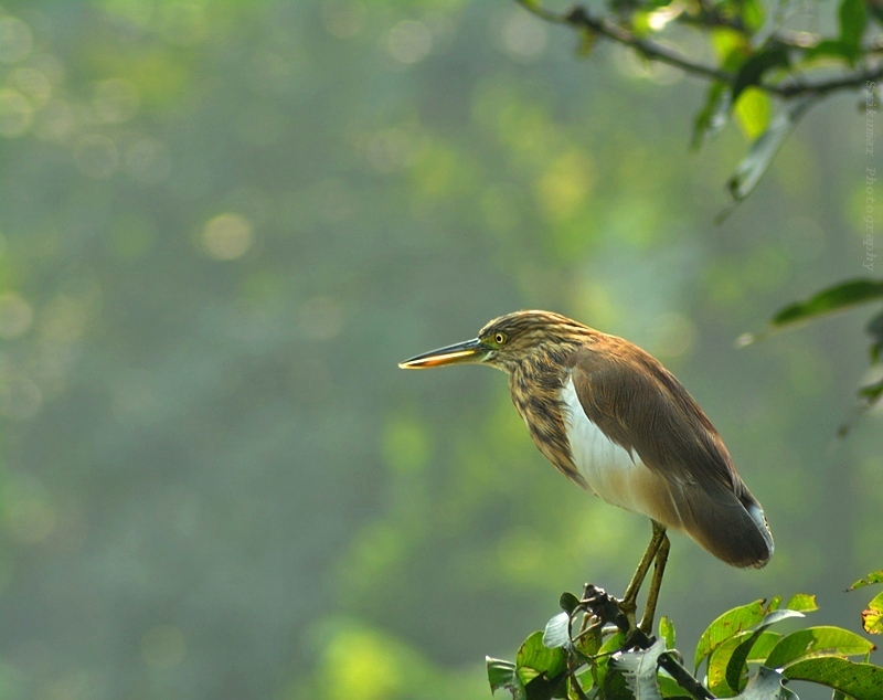 Indian Pond Heron