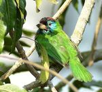 Title: The Blue-Throated Barbet