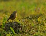 Title: The Bengal Bush Lark