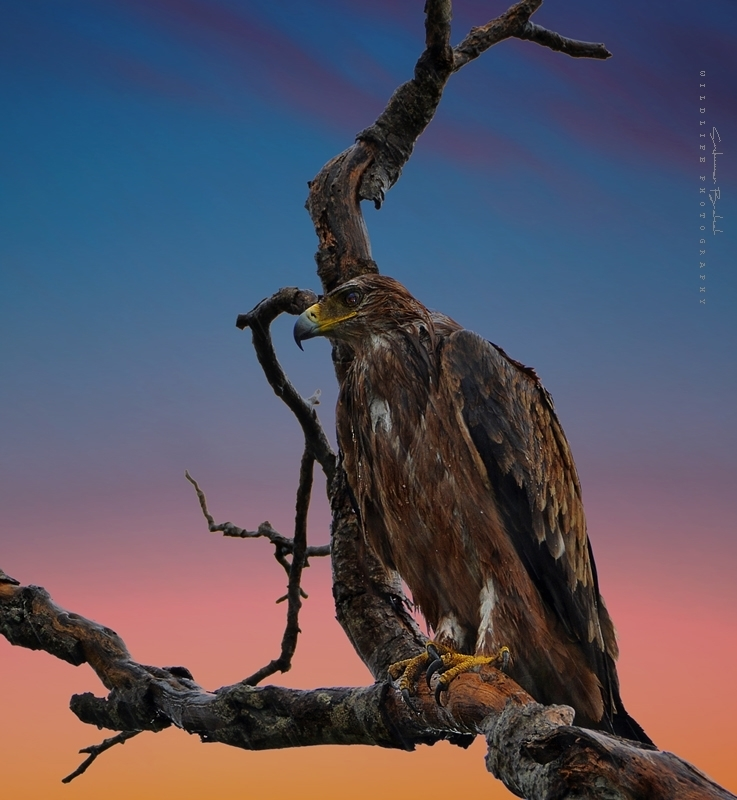 After Rain - Wahlberg's Eagle