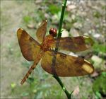 Title: Neurothemis Fulvia(Female)