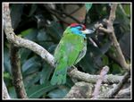 Title: Blue-throated Barbet