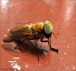 Title: Green-Eyed Hoverfly