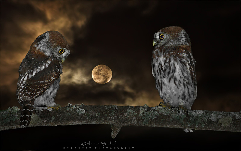 Pearl - Spotted Owlet (Couple)