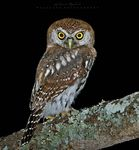 Title: Pearl - Spotted Owlet