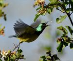 Title: Collared Sunbird