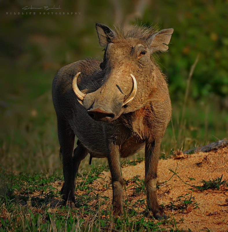Common Warthog (Female)