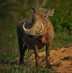 Title: Common Warthog (Female)