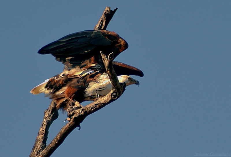 National Bird Of Zambia And Zimbabwe