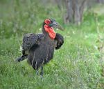 Title: Southern Ground Hornbill Camera: Nikon D5200