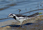 Title: African Pied Wagtail