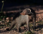 Title: Banded Mongoose