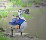Title: Knob-Billed Duck (Male)