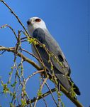 Title: Black-Shouldered Kite