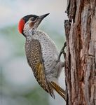 Title: Bennett's Woodpecker (Female)